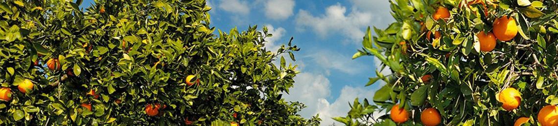 agrumi sicilia etna