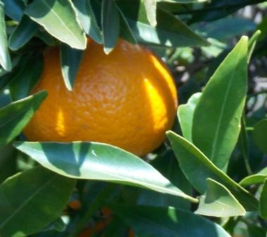 mandarini 3